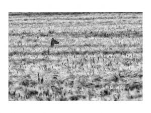 Jeleň lesný (Cervus elaphus) - Laň
